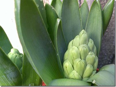hyacinthbud